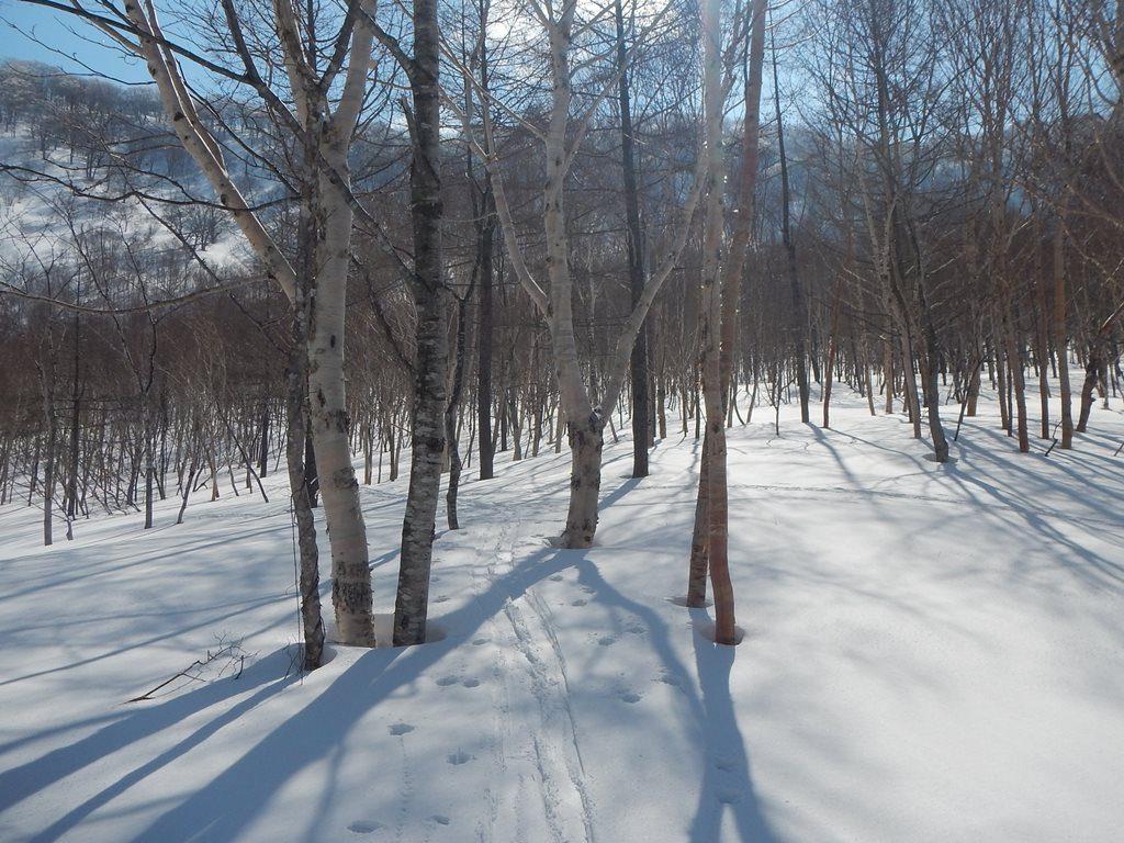 樺の木主体のゆるやかな斜面